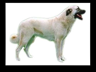 רועה טורקי קנגל